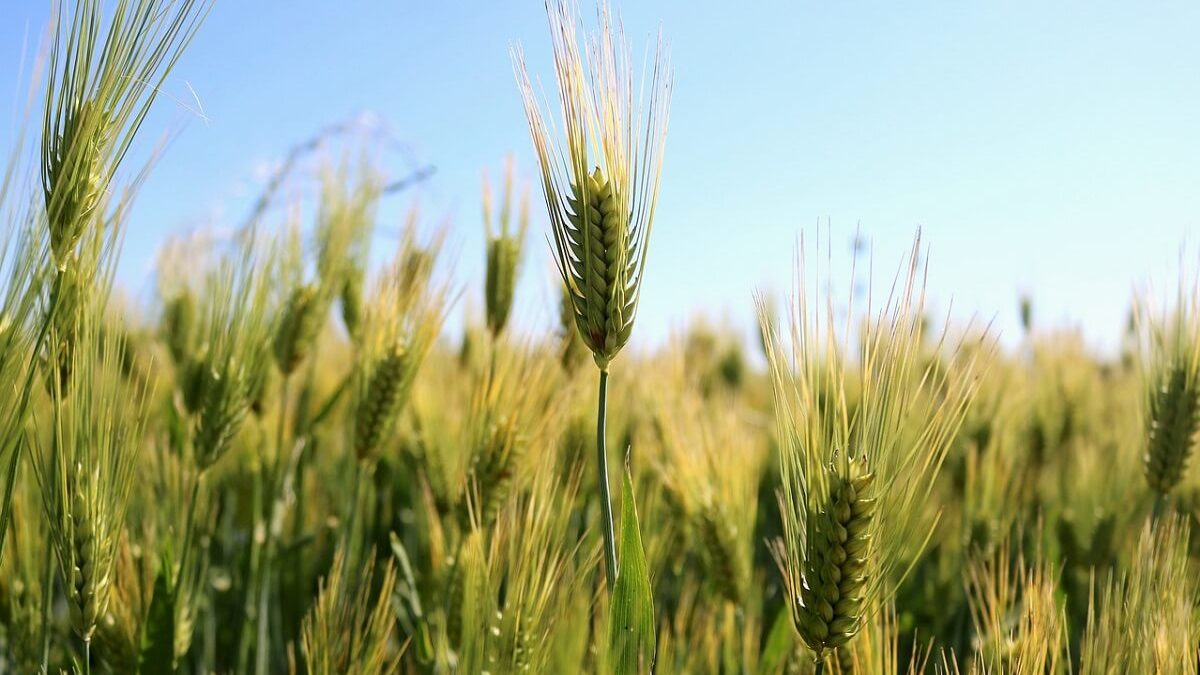 Campo de trigo - celiaquía